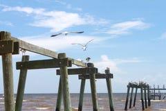 Пеликаны принимая от разрушенной пристани в Мексиканском заливе стоковые фотографии rf