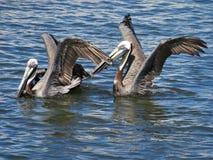 Пеликаны принимая полет на воду стоковая фотография rf