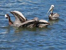 Пеликаны принимая полет на воду стоковые фотографии rf