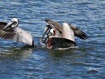 Пеликаны принимая полет на воду стоковые изображения rf