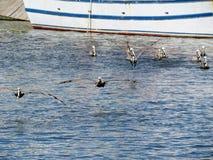 Пеликаны принимая полет на воду стоковые фото