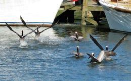 Пеликаны принимая полет на воду стоковое изображение rf