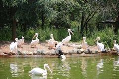 Пеликаны род больших птиц воды которые составляют Pelecanidae семьи Они охарактеризованы длинным клювом и большим t стоковые фото