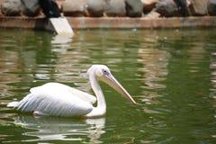 Пеликаны род больших птиц воды которые составляют Pelecanidae семьи Они охарактеризованы длинным клювом и большим t стоковые изображения