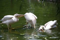 Пеликаны род больших птиц воды которые составляют Pelecanidae семьи Они охарактеризованы длинным клювом и большим t стоковые фотографии rf