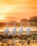 Пеликаны Румынии перепада Дуная на заходе солнца на озере Фортуне стоковая фотография