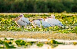Пеликаны спать в перепаде Дуная стоковая фотография rf