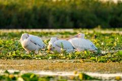 Пеликаны спать в перепаде Дуная стоковые фото