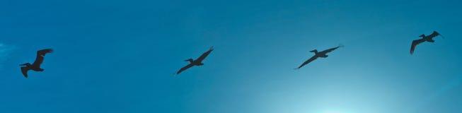 пеликаны стаи воздуха Стоковое фото RF