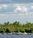Пеликаны удя в перепаде Дунай стоковая фотография rf