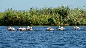Пеликаны удя в перепаде Дунай стоковые фотографии rf