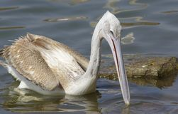 Пеликаны улавливая рыб около озера Hora, Эфиопии стоковое изображение rf