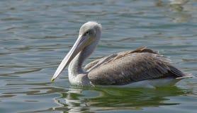 Пеликаны улавливая рыб около озера Hora, Эфиопии стоковое фото rf