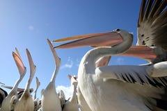 пеликаны стоковые изображения rf
