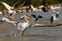 пеликаны cormoran стоковая фотография