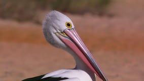 Пеликан 2 австралийцев акции видеоматериалы