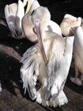 пеликан биографической angoras Знание природы Через глаза природы стоковое фото rf