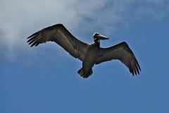 пеликан бомбардировщика Стоковое Фото
