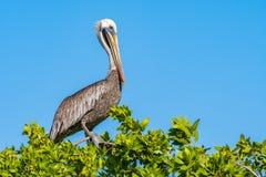 Пеликан Брайна садить на насест на верхней части дерева стоковое фото rf