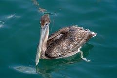 Пеликан Брауна на воде стоковое фото rf