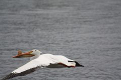 Пеликан Висконсина стоковое изображение rf