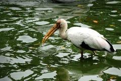 Пеликан в зверинце Сингапур Стоковые Изображения