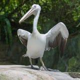 Пеликан в зоопарке Сингапура стоковые фото