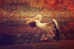 Пеликан в парке Стоковая Фотография RF