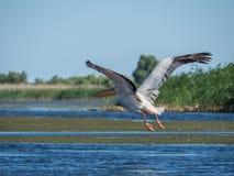 Пеликан в полете, скоро приземлиться стоковое фото rf