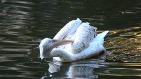 Пеликан в пруде видеоматериал