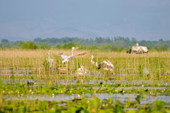 пеликан гнездя одичалый Стоковые Фото