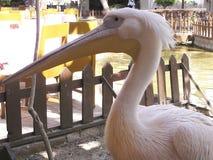 Пеликан, Египет, Африка Стоковое Фото