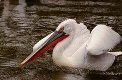 Пеликан заплывания стоковая фотография rf