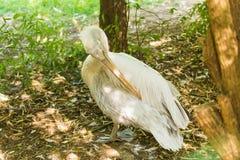 Пеликан или розовый пеликан на зоопарке Стоковые Фотографии RF