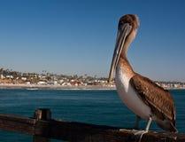 Пеликан Калифорния Стоковое Изображение
