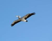 Пеликан летает в прошлом Стоковое фото RF
