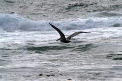 Пеликан летает над волнами океана стоковые фото