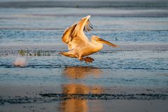 Пеликан летания в перепаде Дуная на заходе солнца Стоковое Изображение RF
