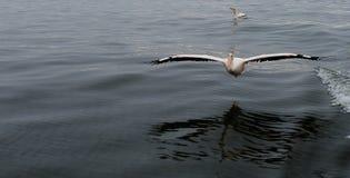 Пеликан летания на заливе Walvis, Намибии Стоковые Изображения