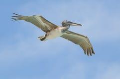 пеликан летания одичалый Стоковые Изображения