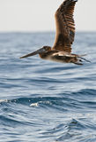 пеликан летания Стоковое фото RF