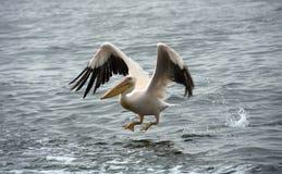 пеликан летания Стоковые Фото