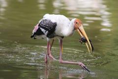 пеликан летания Стоковое Изображение RF