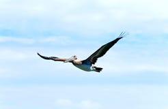 пеликан летания Стоковая Фотография