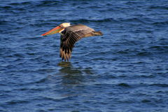пеликан летания Стоковое Фото