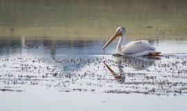 Пеликан на озере Стоковая Фотография