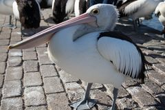 Пеликан на пляжном Стоковая Фотография