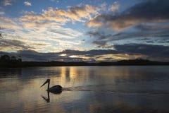 Пеликан на реке Стоковая Фотография RF
