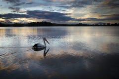 Пеликан на реке Стоковое фото RF