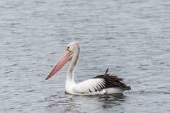 Пеликан на foreshore на пляже Австралии Rockingham стоковые изображения rf